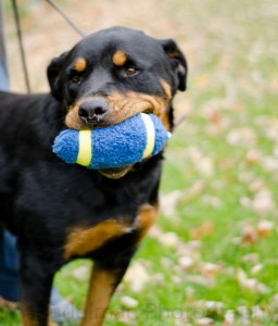 For the Love of Dog - Rottweiler Rescue